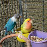 コザクラインコの色種類|コザクラインコの飼い方