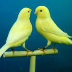 カナリアの性格や寿命と価格|カナリアの飼い方