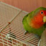 インコオウムの健康管理|インコの飼い方